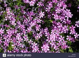 garden flower flowers plant small tiny little short purple