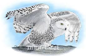 snowy owl nyctea scandiaca stock art illustration