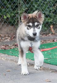 american eskimo dog small 87 best pup u0027s images on pinterest animals shiba inu and husky