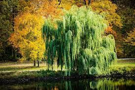 green weeping willow trees for sale lowest prices