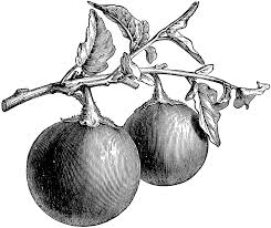 fruiting branch of aubergine clipart etc