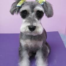 mini schnauzer haircut styles best in show dog grooming 159 photos 169 reviews pet