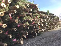 christmas tree sale san juan mountains association opens christmas tree sale