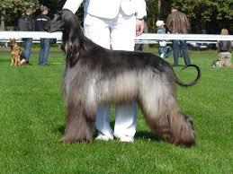 afghan hound breed basset hounds face colouring pages basset afghan hound dog afghan