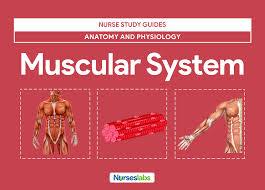 muscular system anatomy and physiology u2022 nurseslabs