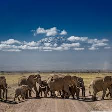 apple wallpaper elephant african elephants crossing the road 4k hd desktop wallpaper for