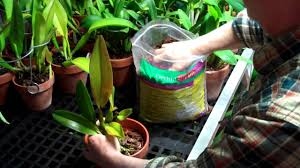 Orchid Bark How To Repot An Orchid With Orchid Bark Potting Mix By Arcadia