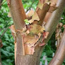 acer griseum paperbark maple tree mail order trees