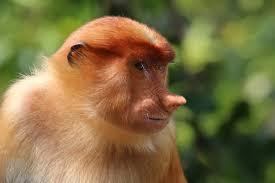 Baby Monkey Meme - proboscis monkey wikipedia