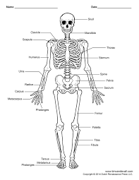 the human skeletal system worksheet worksheets