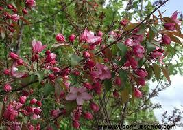Profusion Flowering Crabapple - pink spires flowering crabapple wilson nurseries