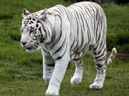 expedition to rewa s white tiger sanctuary