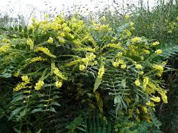 arbuste feuillage pourpre persistant mahonia u2013 page 3 u2013 paris côté jardin