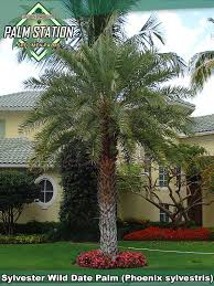 sylvester palm tree sale groundworks sylvester date palm
