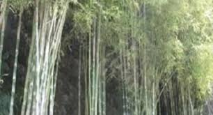 raising ornamental bamboo for livelihood