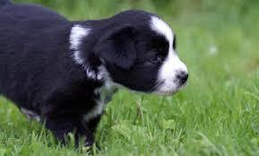 australian shepherd black august 2010 mini aussie puppies u2014 breezemore