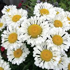 english daisies dirt simple