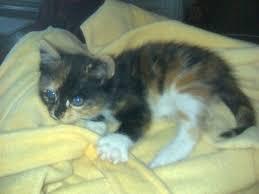 comment se débarrasser des puces sur un petit chat résolu