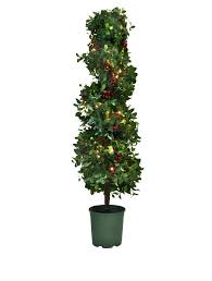 Bay Tree Topiary Bay Laurel With Mixed Berries Topiary Balsam Hill