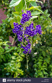 tree with purple flowers ornamental tree shrub with hanging cluster of colourful