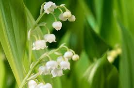 Lily Of The Valley Flower Grow Lily Of The Valley Project Gardenersworld Com