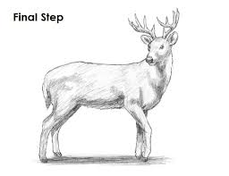 how to draw a whitetail deer the best deer 2017