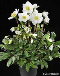 helleborus niger hgc jacob royal havlis cz