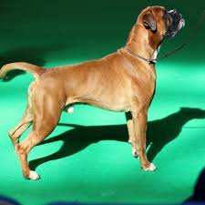 boxer dog crufts 2015 jinnybrux just enough jeeves