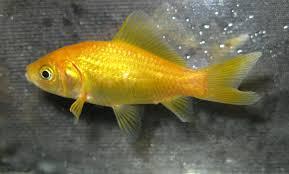 golden comet live fish goldfish comet product detail