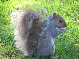 Can You Bury Animals In Your Backyard Squirrels How To Get Rid Of Squirrels In The Garden The Old