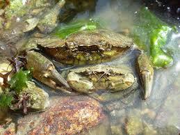 Pleins De Crabe Violonistes Très Les Animaux Et Leurs Messages Crabe