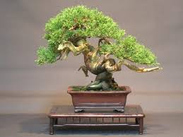of china tree bonsai of mini plant cits