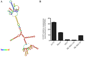 lentiviral mediated overexpression of long non coding rna gas5