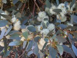 society for growing australian native plants pruning australian native plants archives mallee native plants