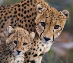affectionate cheetahs wallpapers 13 best cheetahs images on pinterest art ideas big cats and cubs