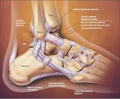 Posterior Inferior Tibiofibular Ligament Differentiating Low And High Ankle Sprains Page 2 Of 6