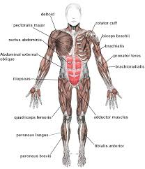 muscle archives page 5 of 36 human anatomy chart