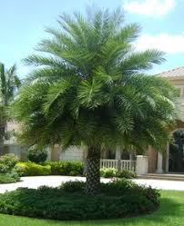 sylvester palm tree sale buy sylvester palm trees for sale in orlando kissimmee our