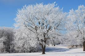 elm tree on frosty morning 2 photograph by karlena mcdougall