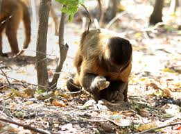 oldest non human stone tools outside africa created by monkeys