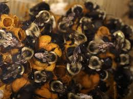 how do i identify a bumblebee nest abc humane wildlife