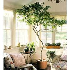 beautiful indoor trees for sale pictures amazing house