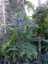 native florida plants for home landscapes gardening south florida style south florida hedge plants v i