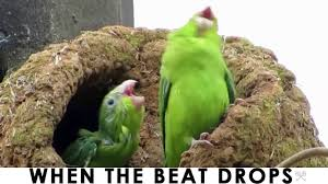 Crazy Bird Meme - original when the beat drops green edm electro bird dance buddies