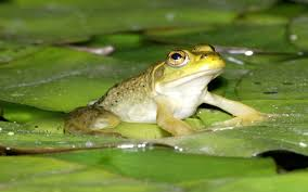 frog wallpapers for desktop inspirational pictures to pin on