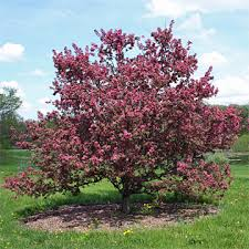 Trees With Pink Flowers Spring Flowering Trees Canadale Garden Centre St Thomas