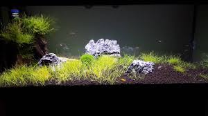 No Light Plants Carpeting Plants In A Low Light Excel Tank Barr Report Forum