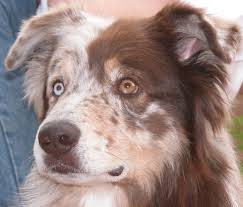 3 4 australian shepherd 1 4 blue heeler aussie eye color and eyeshine