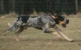 bluetick coonhound sale bluetick coonhound breed information breeders lists puppies