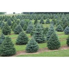 large small conifer trees buy in fond du lac